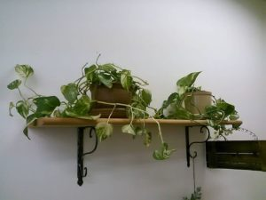 枯れた観葉植物